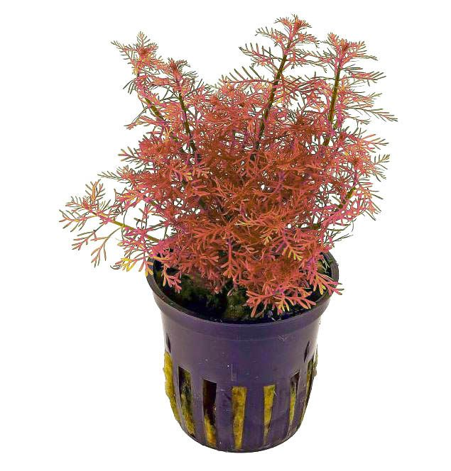 Myriophyllum mattogrossense rojo