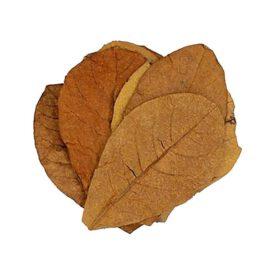 Catappa hojas